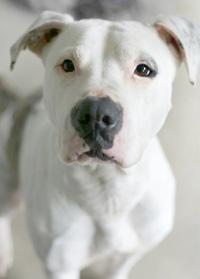 Staffordshire Terrier wordt vaak als vechthond gezien.