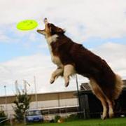 Australian Shepherd houdt van sport