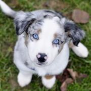 Aussie met blauwe ogen