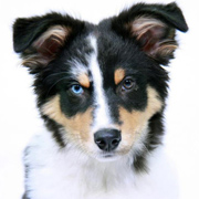 Australian Shepherd Riley
