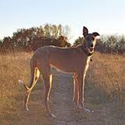 Australische Kangaroo Dog
