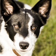 Border Collie Beauty
