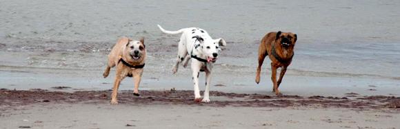 Dalmatïer met andere honden