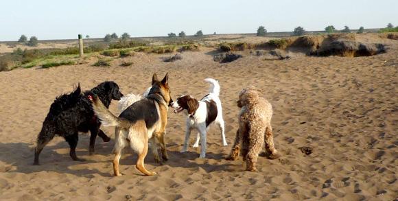 Duitse Herder met andere honden