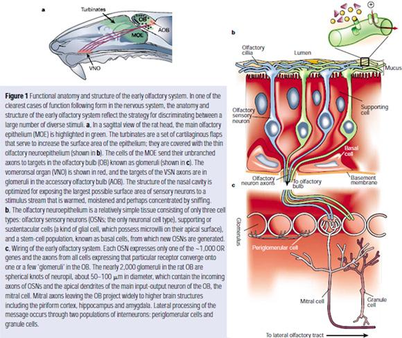 Firestein Geurreceptoren