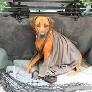 Hond achterin de auto met veiligheidsnet en rek