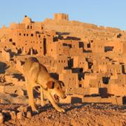 Zwerfhond in Marokko
