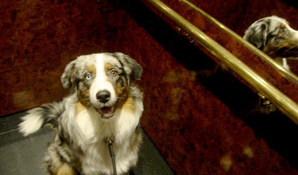 Hond in de lift