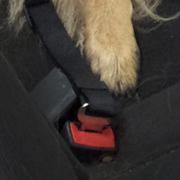 Hond op achterbank
