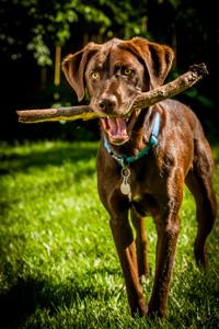 Hond speelt met stok