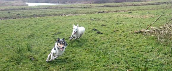 Rennende honden