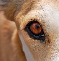 De ogen van een hond