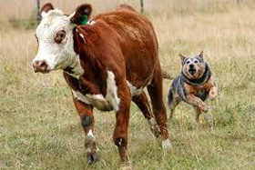 Koeien herderen