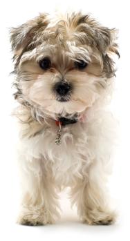 Kruising Puppy