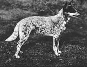 Nipper, de hond van Harry Bagust