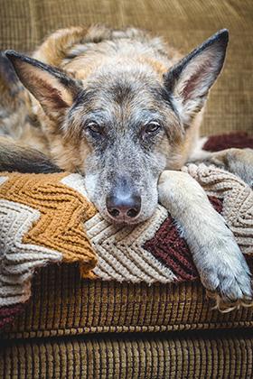 Demente hond