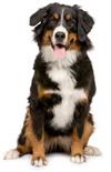 Rasgroep 2 Sennenhond