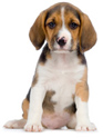 Rasgroep 6 Beagle