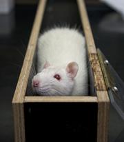 Rat in doolhof
