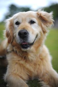 Seniorhond