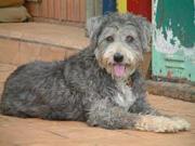 Tasmanian Smithfield dog