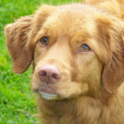 Nova Scotia Duck Tolling Retriever met konijn
