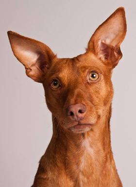 Wat hoort een hond?