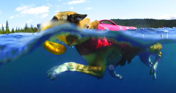 Hond met zwemvest