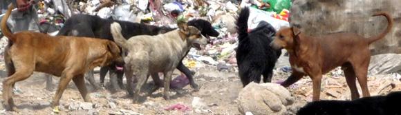 Mexico City Dump Dogs