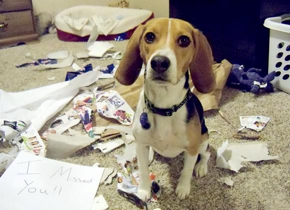 Hond maakt spullen kapot