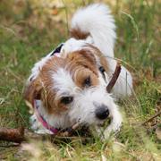Gezonde, volwassen hond