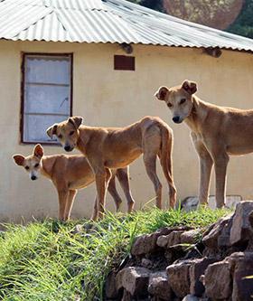 Village Dogs