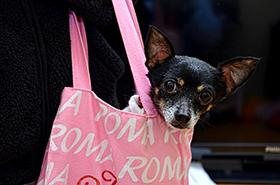 Hondje in een tas