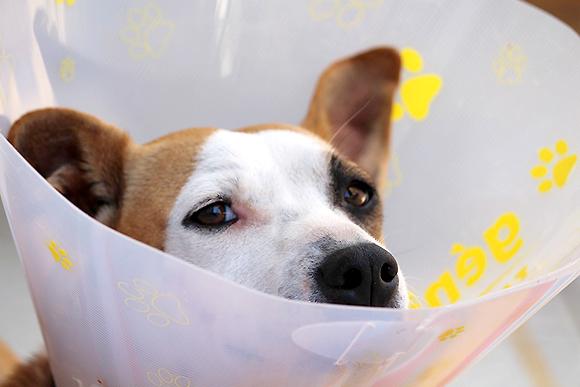 Hond na operatie