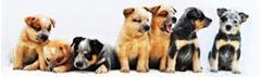 Australian Cattledogs