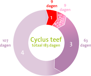 Cyclus van een teef