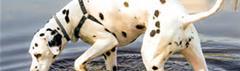 Dalmatiër