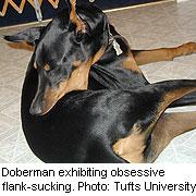 Dobermann flank zuigen