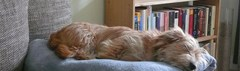 Slapende hond
