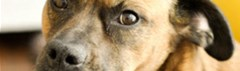 Adoptiehond