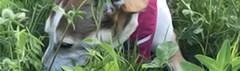 Waarom eten honden gras?
