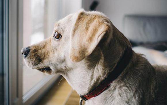 Honden blaffen wanneer ze alleen zijn.