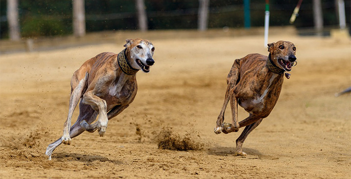 Greyhounds op de renbaan