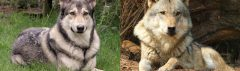 Verschil Saarloos en wolf