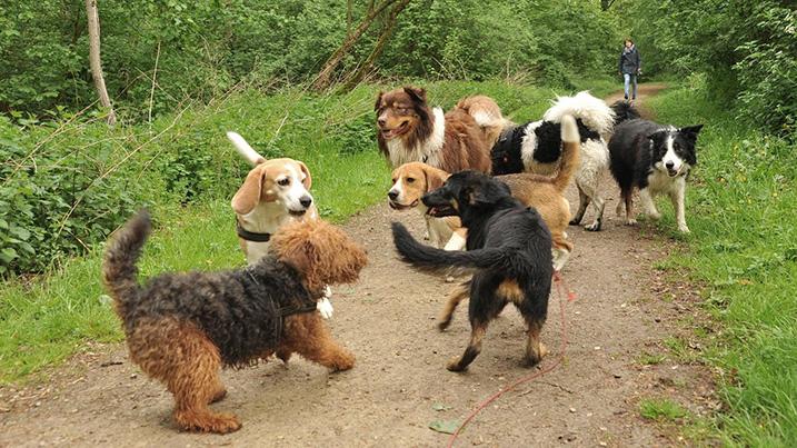 Groep loslopende honden