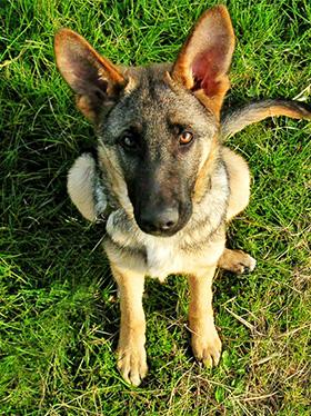 Stoute hond