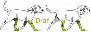 Hond: Draf
