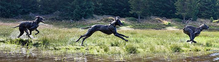 Hond: Galop