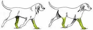 Hond: Telgang