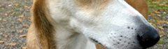 Spaanse hond Canela
